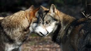 Tre lupi vittime del bracconaggio in due giorni. LAV; atti criminali, necessario rapido intervento del ministero dell'ambiente